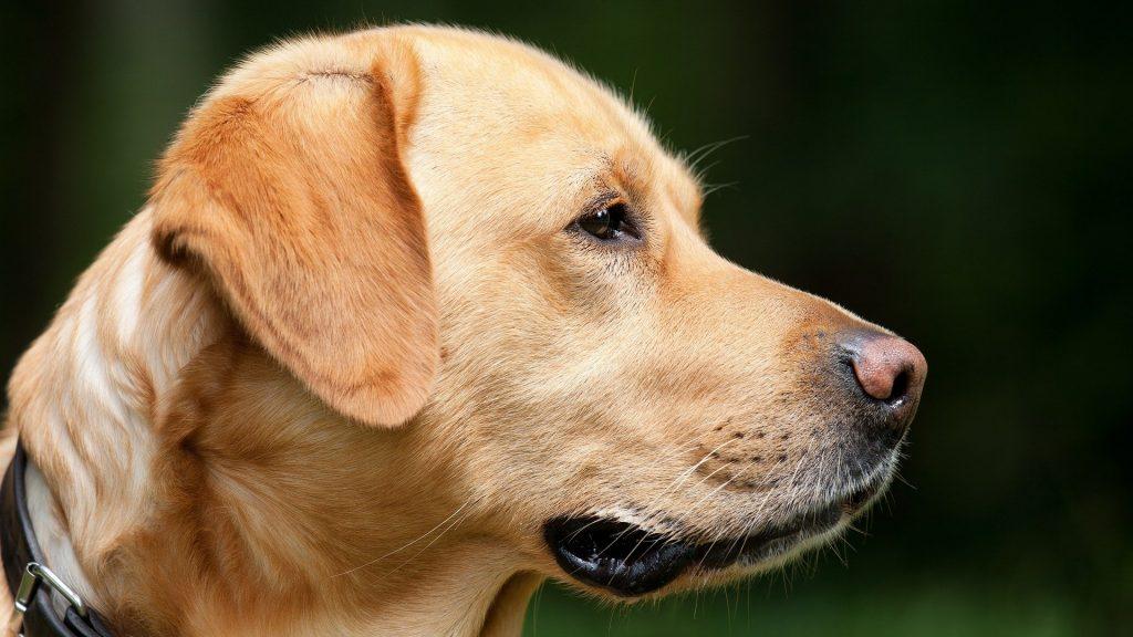 Votre chien empêchera-t-il un cambriolage ?